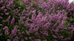 Closeup of waving lilac bush zooming out Stock Footage