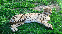 Cheetah  is lying on the grass Stock Footage