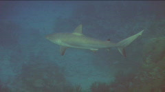 Black Tip Reef Shark Stock Footage
