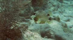 Trunkfish2 Stock Footage