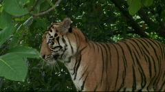 Sumatran Tiger Turn Right Stock Footage