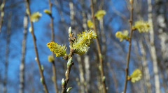 Branch of bush with leaf buds Stock Footage
