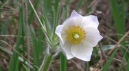 Prairie anemone (Pulsatilla patens) flower with a bee swaying in the wind in the Stock Footage