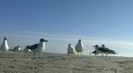 Stock Video Footage of Seagulls Hungry for Crumbs (at the Gulf)