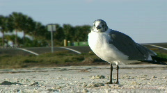 Lone Seagull (at the Gulf) Stock Footage