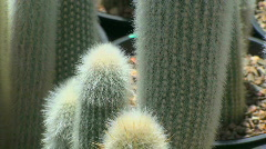 Hairy Cactus Stock Footage