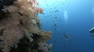 Stock Video Footage of SCUBA divers and corals
