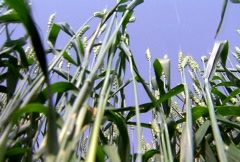 Green Wheat Stalks Stock Footage