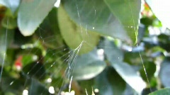 Little Spider creating a web / 03024a - stock footage