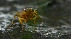 Yellow dung fly cleaning Stock Footage
