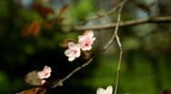Flowery Tree Stock Footage