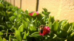 Bee fly from flower to flower Stock Footage