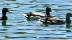 Ducks swim Stock Footage