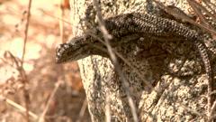 Western Fence Lizard Dance Stock Footage