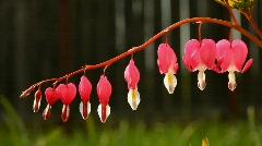 Bleeding heart flower Stock Footage