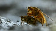 Mating flies Stock Footage