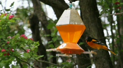 Oriole Stock Footage