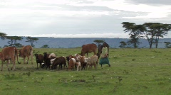 Kenya: Young girl herds sheep and cows Stock Footage