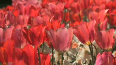 RedTulips.Tight.1080.PJ Stock Footage