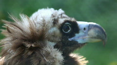 Black vulture head close up Stock Footage