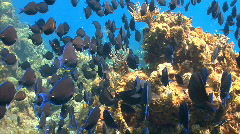School of fish: Blue tang coral reef - stock footage
