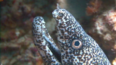 Eel bw straight up head pr Stock Footage