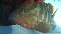 Nassau grouper under coral cedral Stock Footage