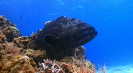Stock Video Footage of grouper wide PC coral1 1