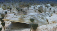 Stock Video Footage of guitarfish PR sand2 1