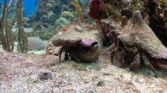 Hermit crabs 2 on Preef 1 Stock Footage