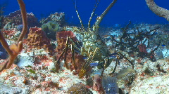 Lobster out in open SR wall Stock Footage