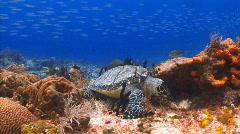 Turtle feeding school of fish ocean marine life Stock Footage
