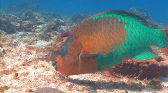 parrot fish cedral - stock footage
