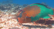 Stock Video Footage of parrot fish cedral