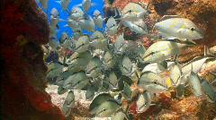 School cottonwick fish Stock Footage