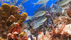school striped grunt coral reef - stock footage