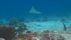 Spotted eagle ray PR 3-6-3 1 Stock Footage