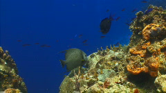 SR wall fish on coral angel 1 Stock Footage