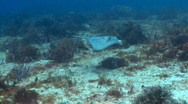 Stock Video Footage of stingray tunich swim toward 1