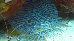 Splendid toadfish coral reef Stock Footage