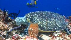 Sea turtle feeding ocean marine life Stock Footage