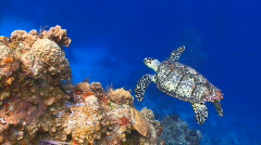 Turtle swimming over coral reef ocean marine wildlife Stock Footage