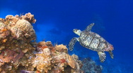 Stock Video Footage of Turtle swimming over coral reef ocean marine wildlife