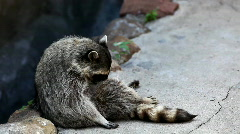 Raccoon in zoo - Procyon lotor Stock Footage