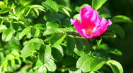 Stock Video Footage of dog rose bush