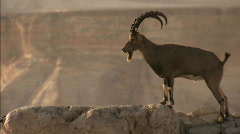 Ibex at Ben-Gurion`s Tomb Stock Footage