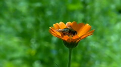 bee on a flower - stock footage
