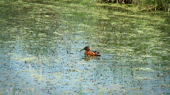Cinnamon teal Stock Footage