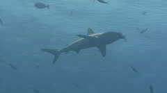Shark glides through the water Stock Footage
