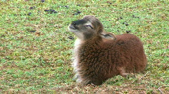 Soay Lamb Chewing His Cud - At Rural Ohio Farm - stock footage